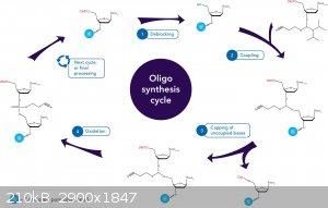 art84-cc-oligo-syn-fig2.jpg - 210kB