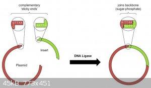 dna-ligation_med.jpeg - 45kB