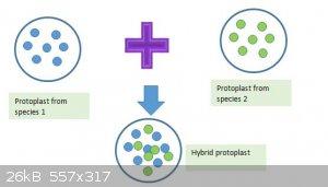 Protoplast.jpg - 26kB