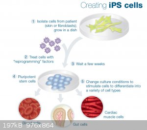 ips-cells.jpg - 197kB
