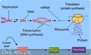 a-bio-DNA_protein-dia0o.gif - 11kB