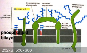 glycoprot_4149.JPG - 202kB