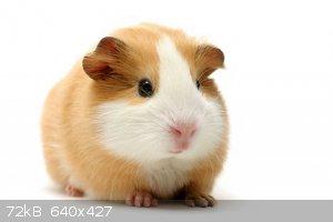 guinea-pig-tan.jpg - 72kB
