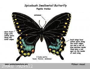 butterfly_spicebush_swallowtail_diagram.jpg - 299kB